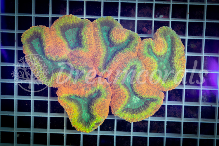 Rainbow Lobophyllia XXL