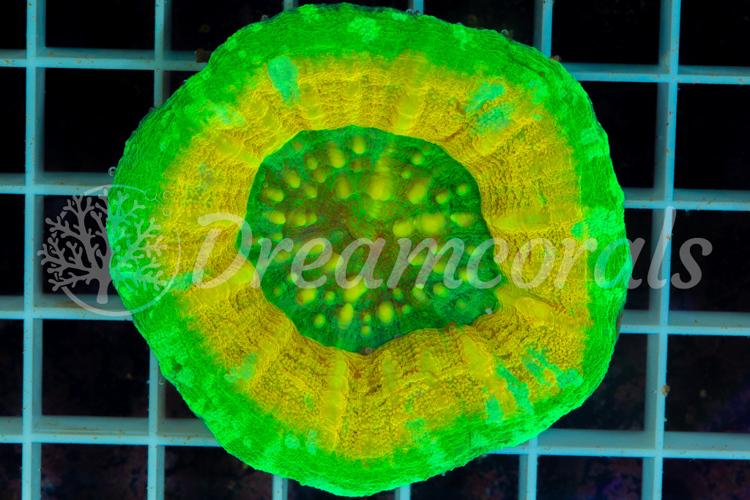Mastergrade Scolymia yellow UFO