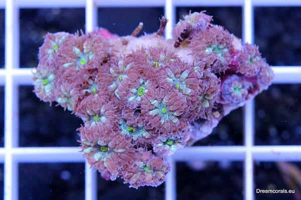 Blastomussa Merletti (Australia)