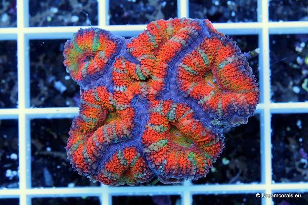 Acanthastrea Rainbow Yellow