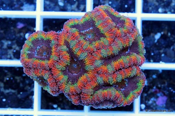 Acanthastrea Rainbow Green/Orange line