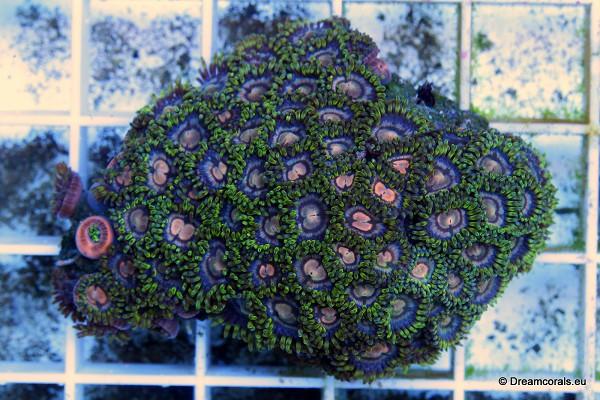 Zoanthus blue green