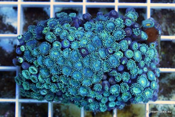 Zoanthus blue XL