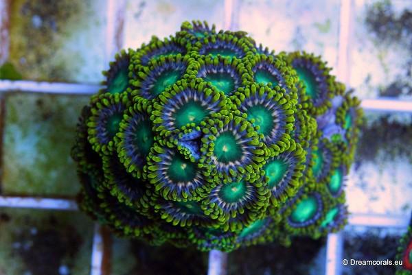 Zoanthus green