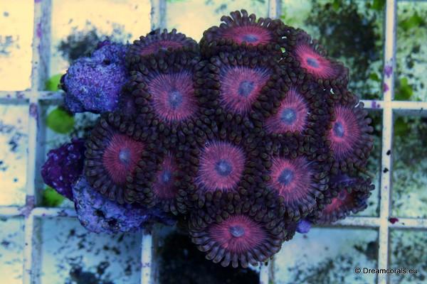 Zoanthus pink