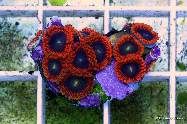 Zoanthus premium selection