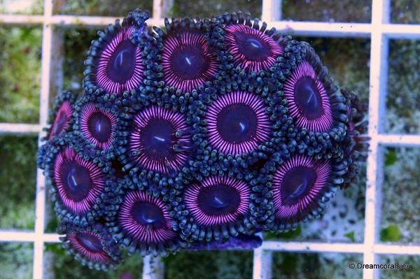 Zoanthus purple