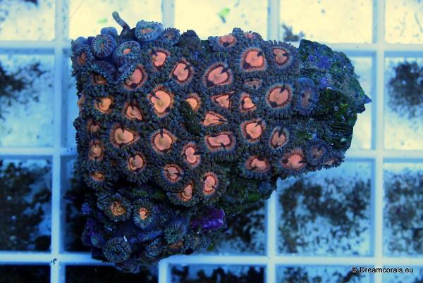 Zoanthus yellow