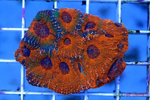 Acanthastrea echinata (orange)