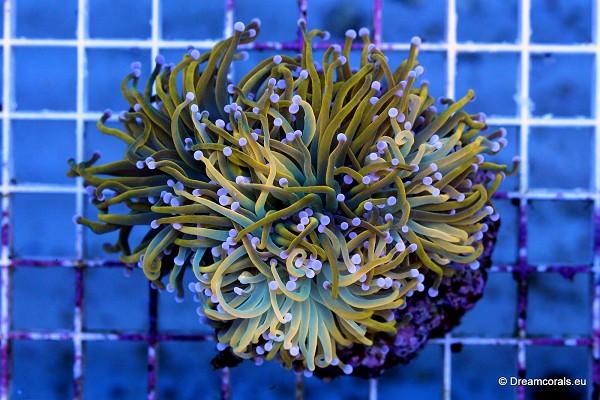 Euphyllia glabrescens (gold)