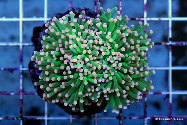 Euphyllia glabrescens (green-yellow tip)