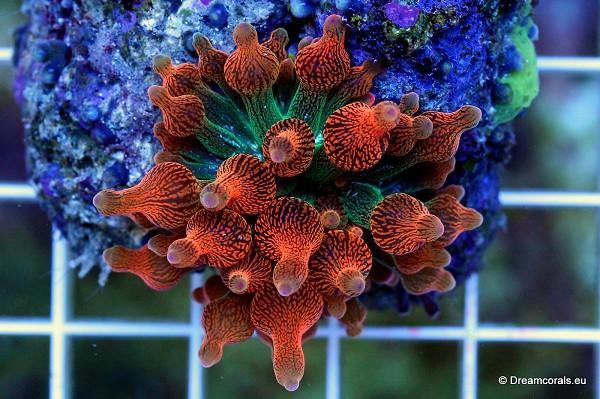 Entacmaea quadricolor (orange tip)