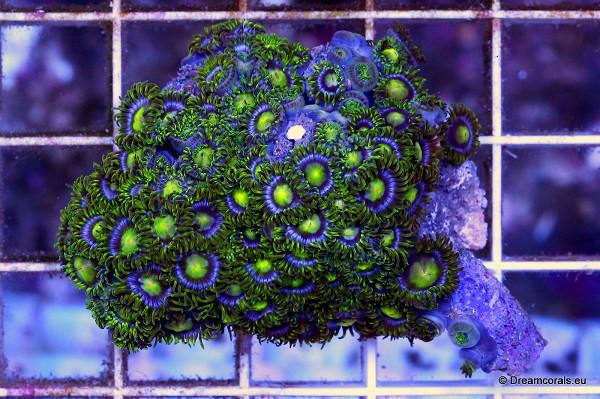 Zoanthus tonga green