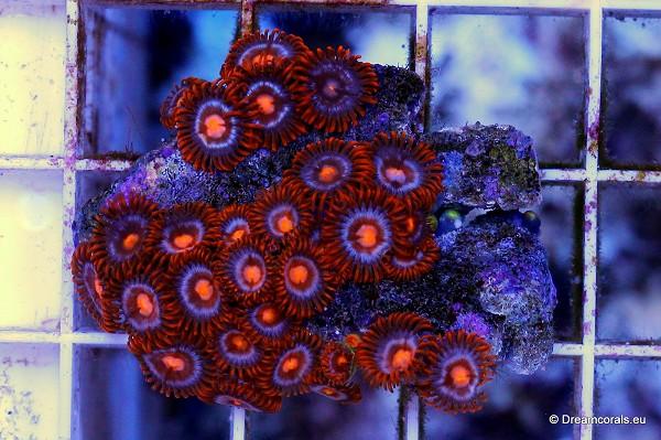 Zoanthus tonga orange