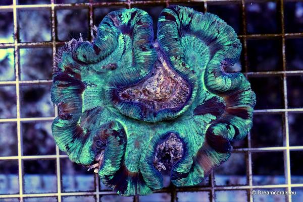 Trachyphyllia spp. (Australie)
