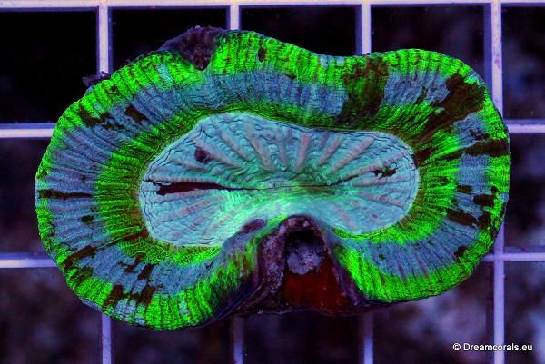 Trachyphyllia spp. green (Australie)