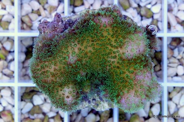 Pocillopora verrucosa (pink, green polyp)