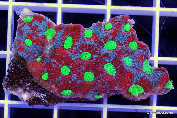Favia sp. (Australia) warpaint
