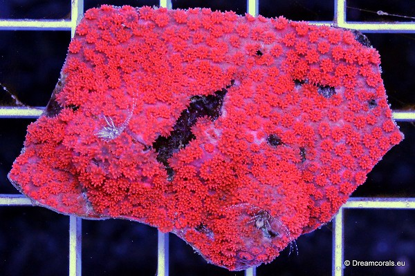 Goniopora sp. red (micro)