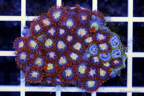 Zoanthus Yellow/orange and green