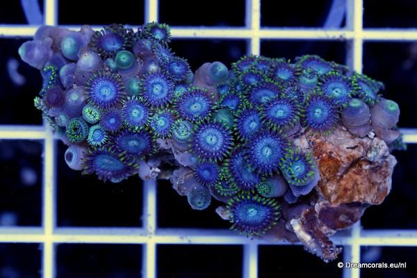 Zoanthus blue
