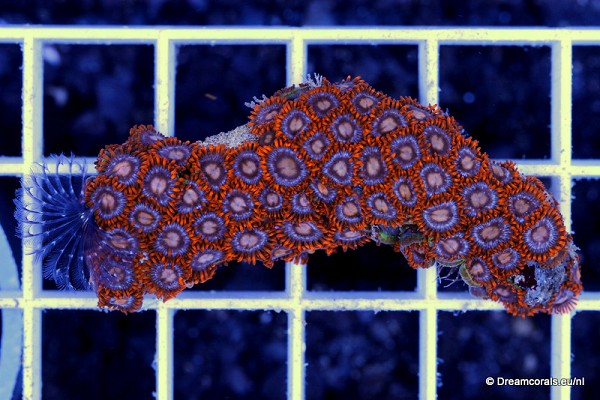 Zoanthus orange