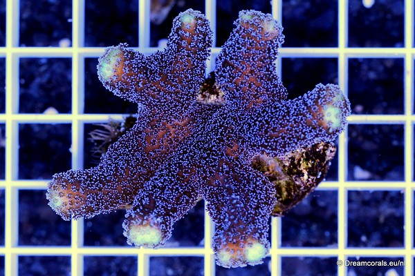 Stylophora purple