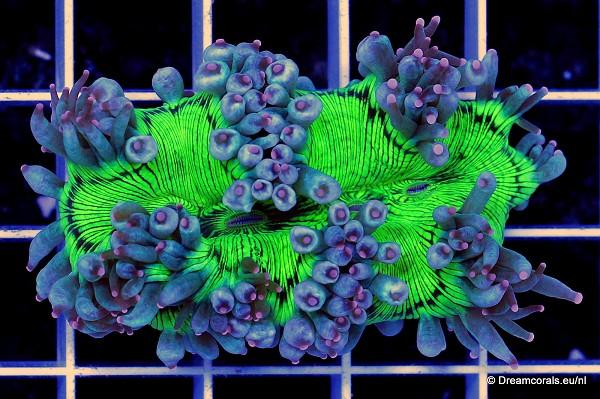 Catalaphyllia jardinei green