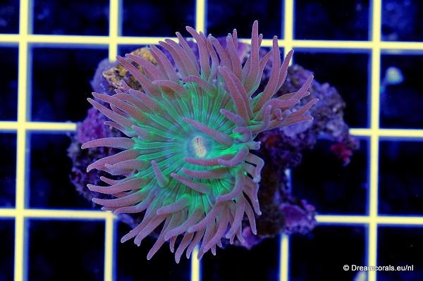 Duncanopsammia axifuga 1 polyp