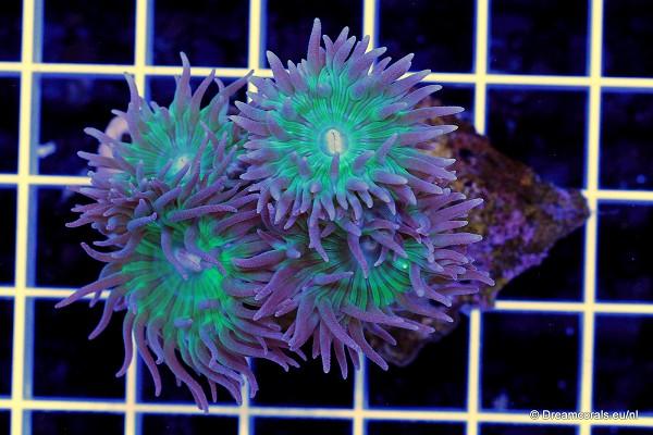 Duncanopsammia axifuga 4 polyps