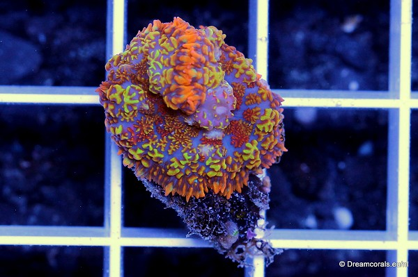 Rhodactis sp. rainbow