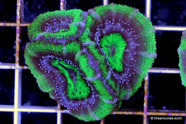 Acanthastrea lordhowensis ultra green