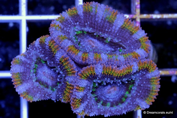 Acanthastrea lordhowensis ultra rainbow orange green ring
